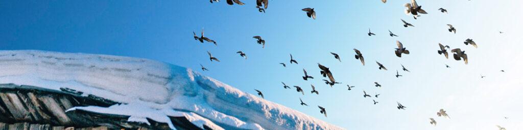 Etwa fünfzig Vögel fliegen überm schneebedeckten Dach eines Holzhauses in den hellen Himmel